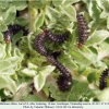 melitaea abbas turanchay larva4 after2